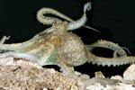 Abdopus_aculeatus