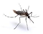 Aedes_albopictus_isolate_C6_36