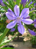 Agapanthus_praecox_subsp__orientalis