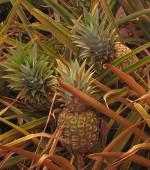 Ananas_comosus_cultivar_MD2