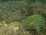 Anemonia_viridis