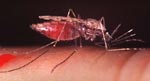 Anopheles_gambiae_str__S