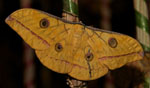 Antheraea_mylitta