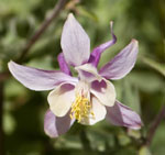 Aquilegia_formosa_x_Aquilegia_pubescens