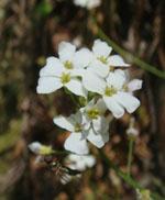 Arabidopsis_halleri_subsp__gemmifera_W302