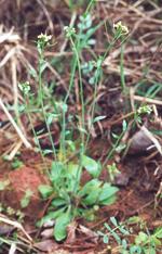 Arabidopsis_thaliana_ecotype_Bur_0