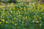 Arachis_duranensis_cultivar_V14167