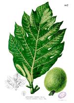 Artocarpus_camansi
