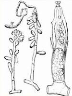 Ascoidea_rubescens_DSM_1968