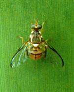 Bactrocera_dorsalis