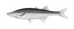 Basilichthys_microlepidotus