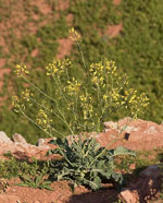 Brassica_oleracea