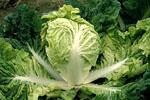 Brassica_rapa_subsp__pekinensis