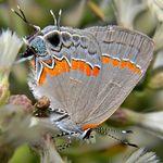 Calycopis_cecrops