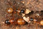 Camponotus_floridanus