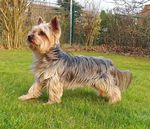 Canis_lupus_familiaris_breed_Yorkshire_terrier