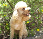 Canis_lupus_familiaris_breed_poodle