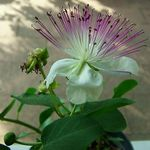 Capparis_spinosa