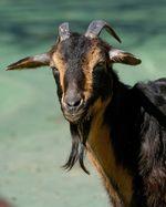 Capra_hircus_breed_San_Clemente