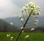 Capsella_grandiflora