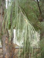 Casuarina_equisetifolia