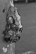 Ceratocystis_platani