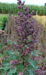 Chenopodium_quinoa_cultivar_Real_Blanca