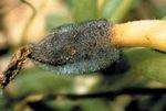 Choanephora_cucurbitarum_KUS_F28377