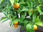Citrus_clementina