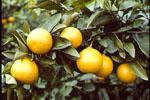 Citrus_clementina_x_Citrus_tangerina