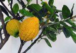 Citrus_medica