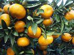 Citrus_unshiu_cultivar_Miyagawa_wase