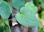 Codonopsis_javanica