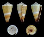 Conus_lividus