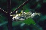 Cordyceps_bassiana_IMV_00265
