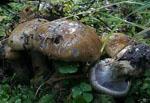Cortinarius_glaucopus_AT_2004_276