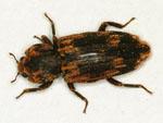 Dastarcus_helophoroides