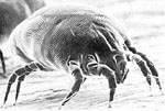 Dermatophagoides_farinae