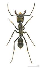 Dinoponera_quadriceps
