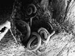 Ditylenchus_africanus