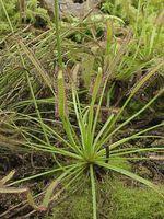 Drosera_capensis
