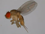Drosophila_albomicans