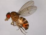 Drosophila_americana