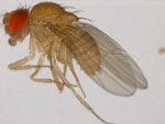 Drosophila_bipectinata