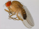 Drosophila_ficusphila