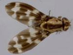 Drosophila_grimshawi_TSC_15287_2541_00