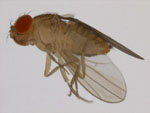 Drosophila_kikkawai
