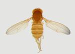 Drosophila_malerkotliana_malerkotliana