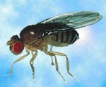 Drosophila_melanogaster