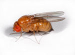 Drosophila_merina